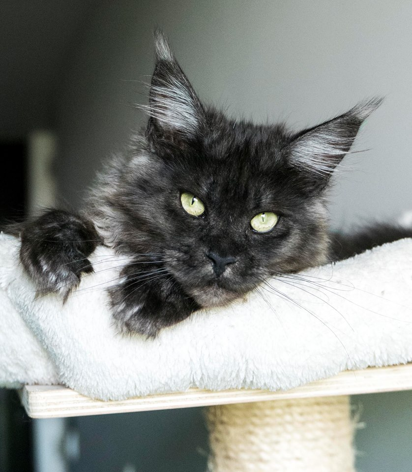 Females | Mystic Lynx - The Maine Coon Cattery