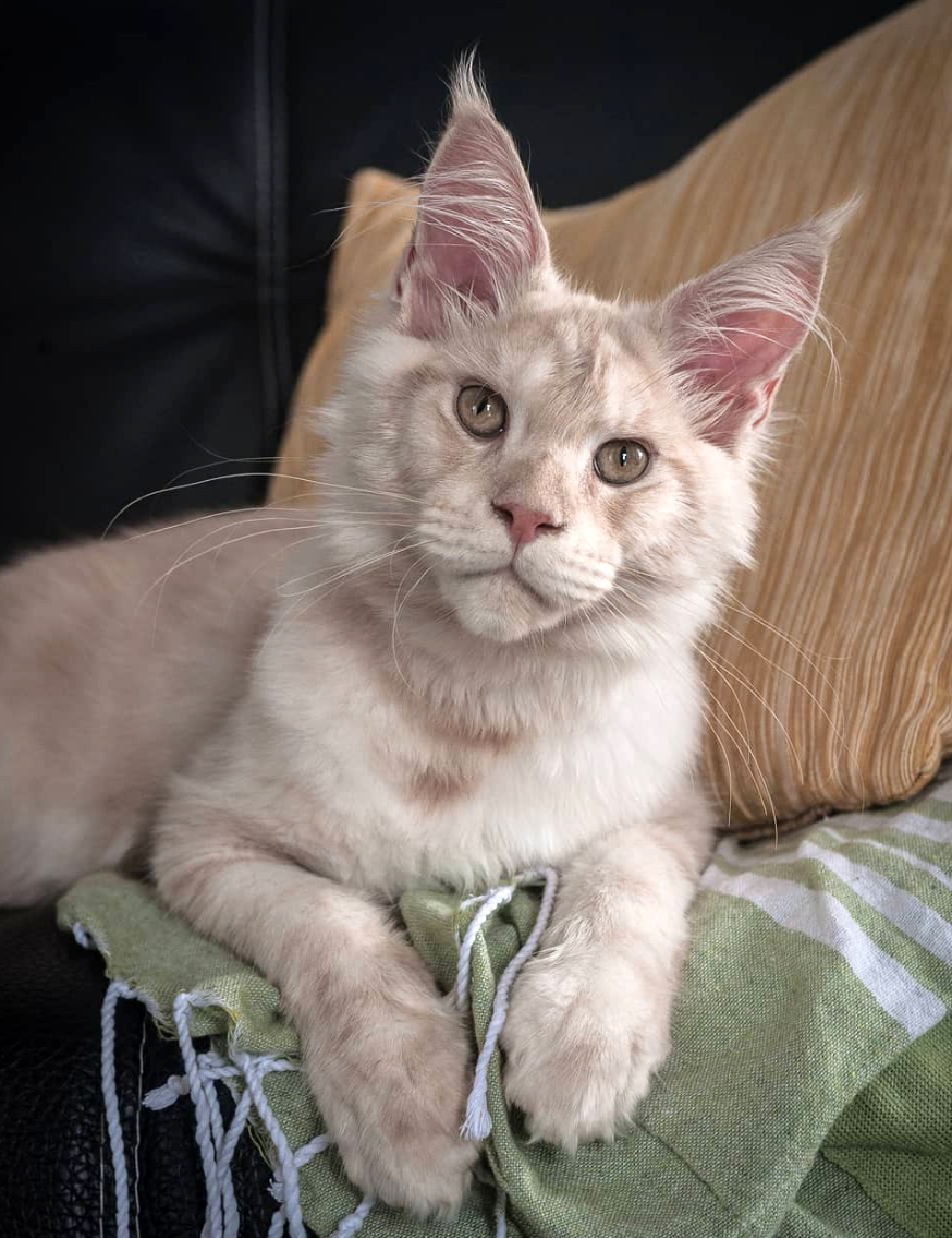 Males | Mystic Lynx - The Maine Coon Cattery